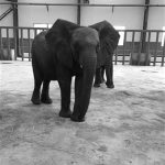 China's Congrete Jungle :Zimbabwean Elephants Are Being Fed Carrots, Sugar cane, Apples in China