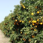 Zimbabwe Farm Invasions: Court Orders Top Soldier To Vacate  Ian Ferguson's Citrus Estates