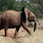 35 elephants sold to China