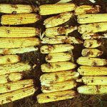 Armyworms outbreak in  Zimbabwe could completely wipe out maize crops