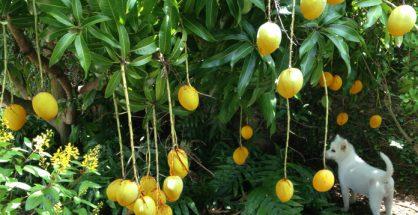 A ROW over mango ...