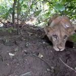 Young lion rescued after becoming trapped in deadly snare