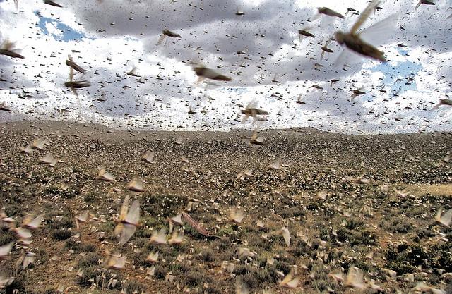 red locusts