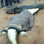 Horror as crocodile cut open and 'remains of boy, 8, pulled out'