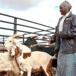 Zimbabwe schools accept goats for tuition fees