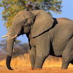 Another 10 Elephants Have Been Killed By Poison In Zimbabwe