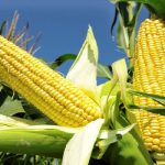 40 Year Record Corn Harvest In South Africa While Zimbabwe Face Food Crises