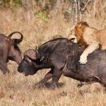 Magaya gored to death by stray Buffalo