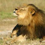 Cecil the lion's son Xanda also shot dead in Zimbabwe