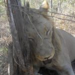 Horrific photos show lion killed by poacher's snares in Zimbabwe