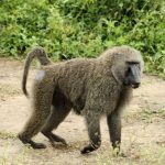 Zim man turns into Baboon while having Sex with Prostitute (PHOTO)