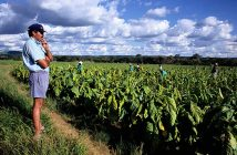 Bruce Chapman oversees the harvesters on his tobacco plantation in the Trelawny District.