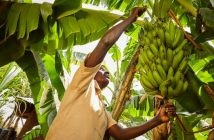 Banana farming in Zimbabwe
