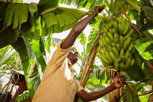 Banana farming in Zimbabwe