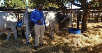 Dr Themba Dlodlo with his prize bull (picture from ICT in Agriculture)