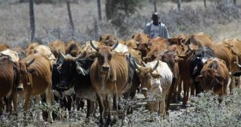 Manual herding of cattle could soon be a thing of the past with Artificial Intelligence