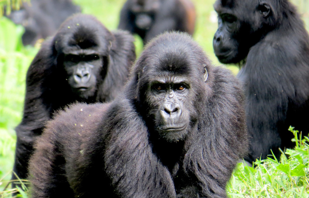 Sensitive to habitat ... The DRC is set to export gorillas to Zimbabwe, according to officials