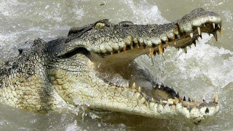 crocodile-single