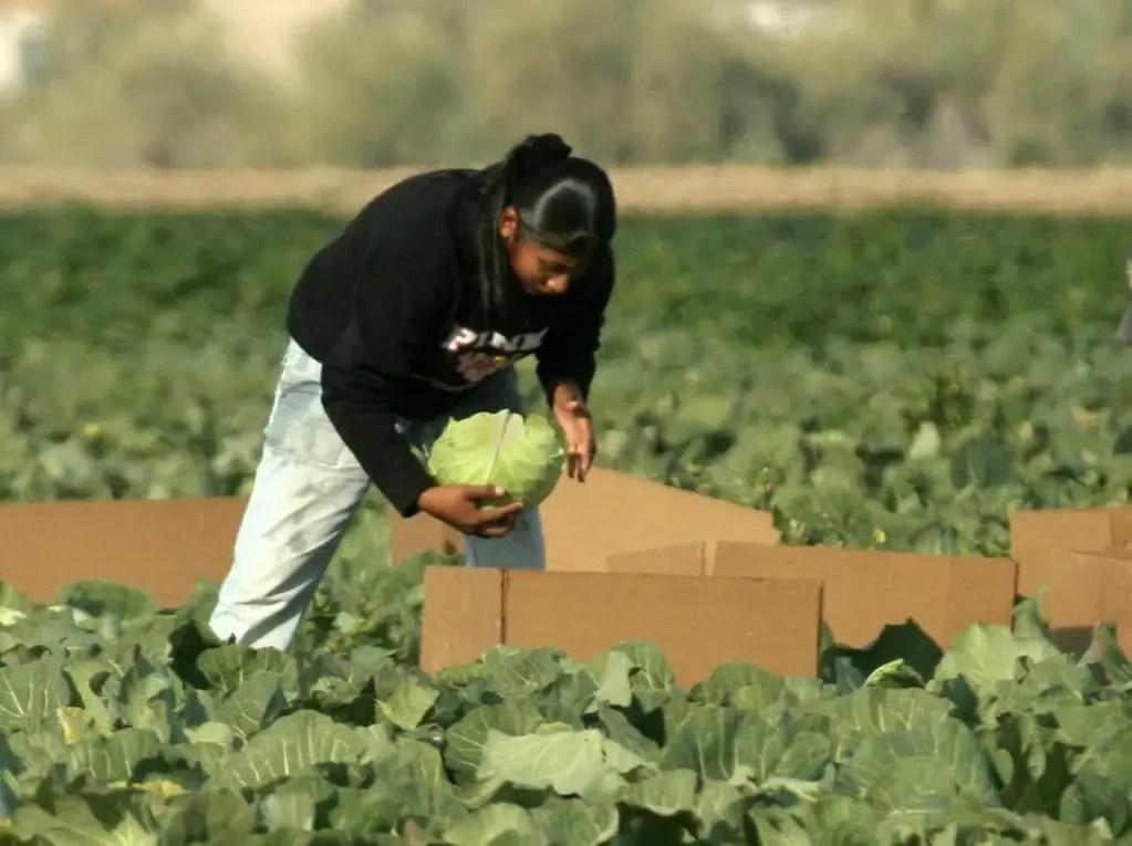 Cabbage-Picker